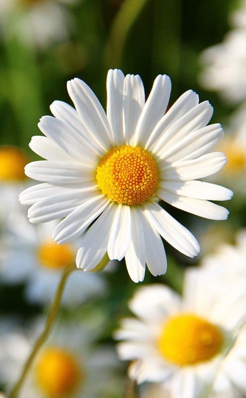 Daisy Flower - Moara Crochet